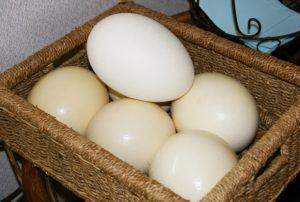 ダチョウの卵 ダチョウ抗体作成 鶏卵の25倍のサイズ